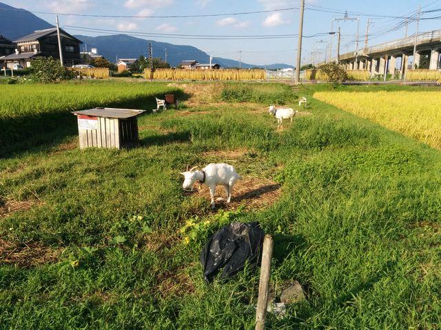 南比良農村広場の前、田んぼの季節はヤギだけ